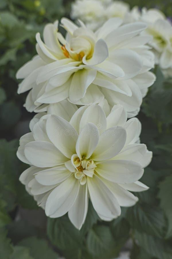 biała dalia w kwiacie zdjęcie royalty free