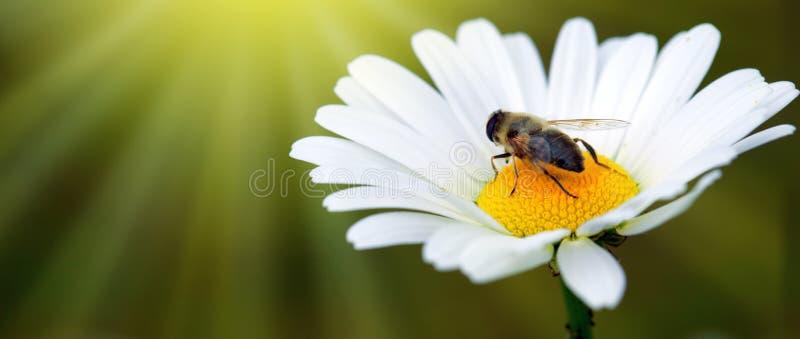 Biała duża stokrotka kwitnie amd pszczoły odizolowywającej banner tła kwiaty form różowego spiralę trochę zdjęcia royalty free