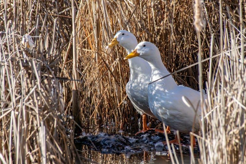 Białe amerykanina Pekin kaczki preening z piórkami lata wśród bagno ziemi płoch fotografia stock