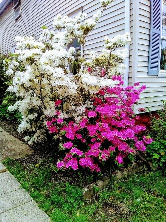 Białe i Różowe azalie przy kątem bielu dom fotografia stock