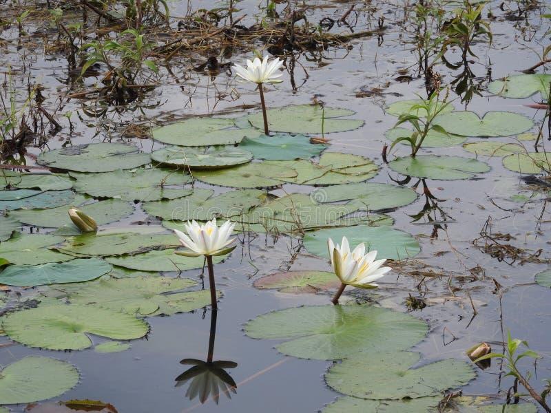 Białe wodne leluje, jezioro z zielonymi liśćmi fotografia royalty free