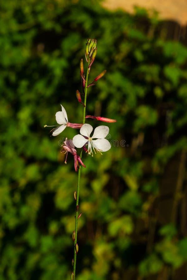 Białego Gaura lub Oenothera lindheimeri kwitnienie przy flowerbed kwitnie i pączkuje w górę, selekcyjna ostrość, płytki DOF zdjęcie stock