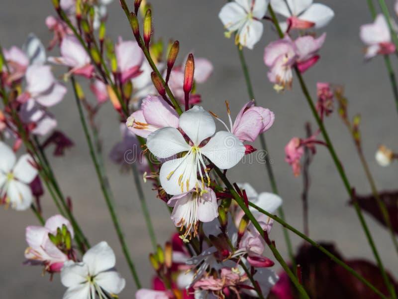 Białego Gaura lub Oenothera lindheimeri kwitnienie przy flowerbed kwitnie i pączkuje w górę, selekcyjna ostrość, płytki DOF zdjęcia stock