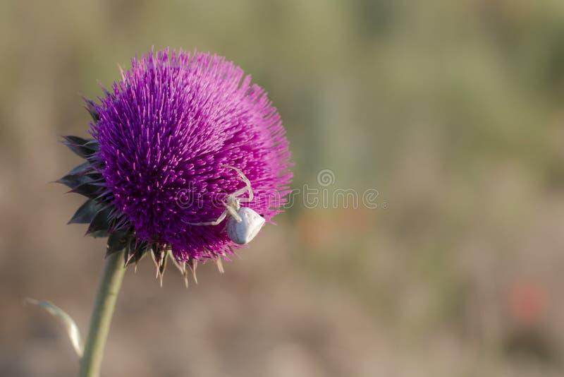 Białego kwiatu kraba pająk siedzi na osetu kwiacie zdjęcia royalty free