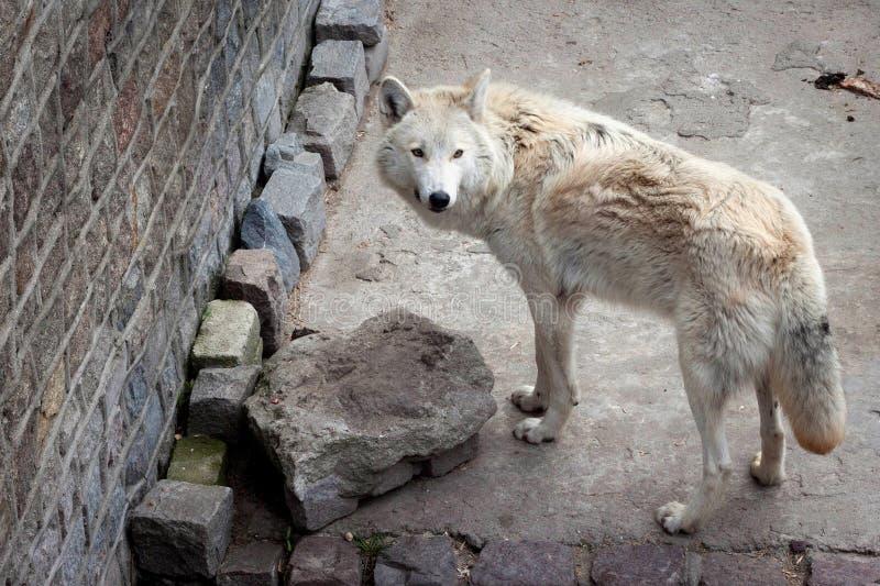 Białego wilka Canis lupus albus lub tundra wilk obrazy royalty free