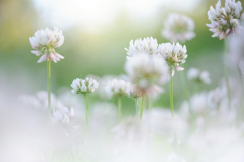 Białej koniczyny Trifolium repens kwiaty obraz royalty free