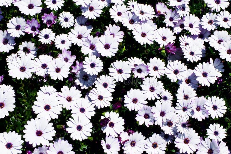 białej stokrotki kwiatów pola Afrykańska stokrotka, Osteospermum ecklonis lub przylądka marguerite Odgórny widok, mieszkanie niea obraz royalty free