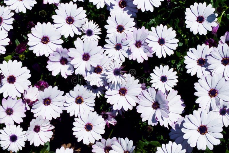 białej stokrotki kwiatów pola Afrykańska stokrotka, Osteospermum ecklonis lub przylądka marguerite Odgórny widok, mieszkanie niea obrazy stock