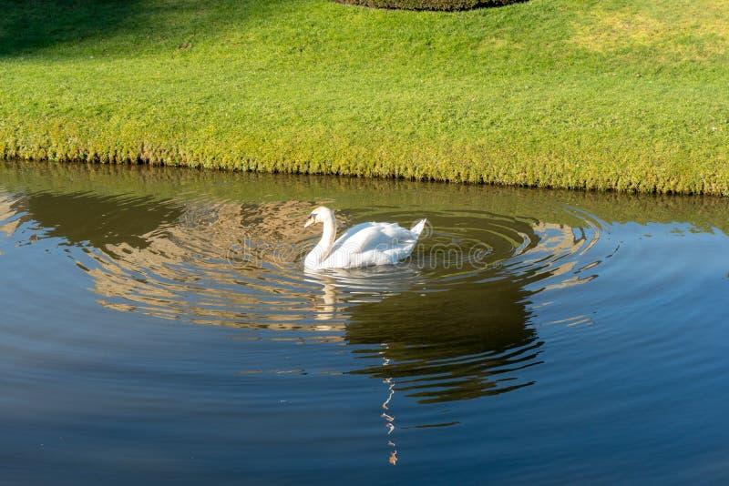 Biały łabędź na jeziorze fotografia stock