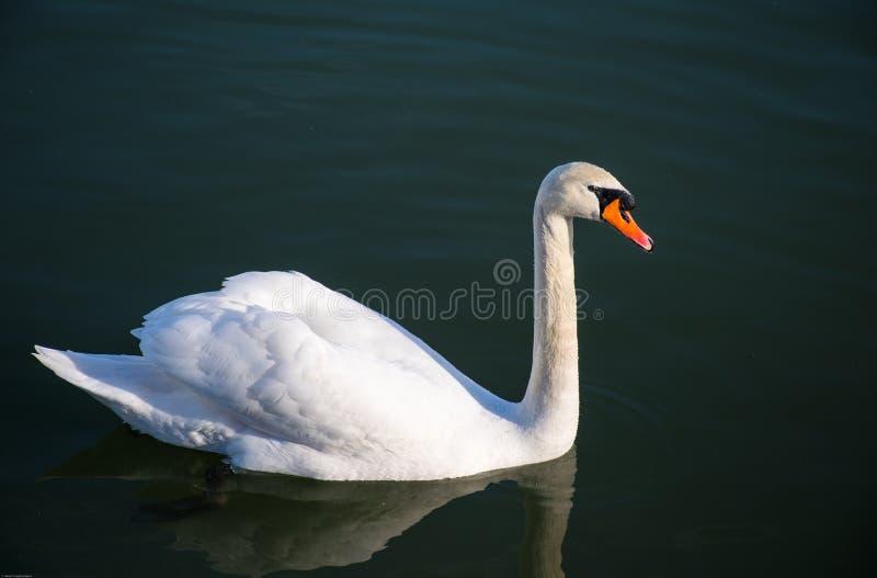 Biały łabędź, Niemy łabędź w zmroku i spokoju wodzie jezioro, zdjęcie stock