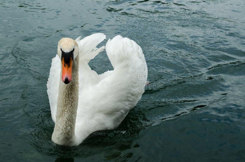 Biały łabędź przy Rhine rzeką Schaffhausen fotografia royalty free