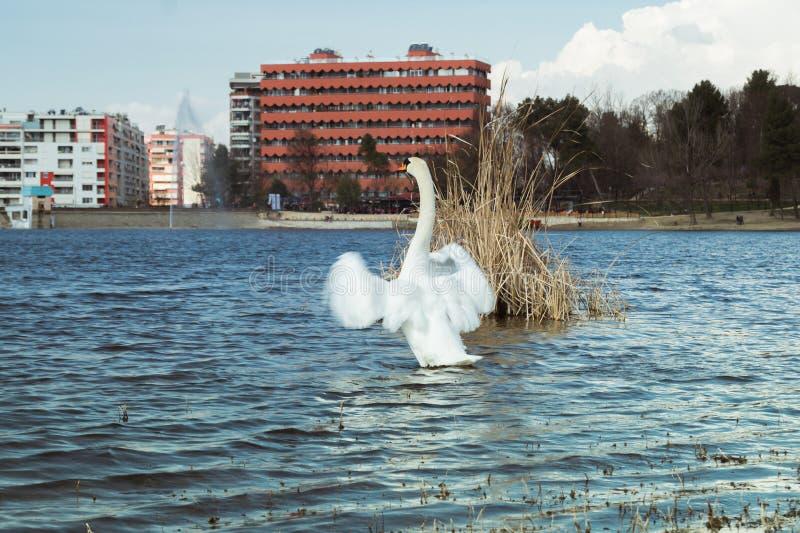 Biały łabędź Tirana fotografia stock