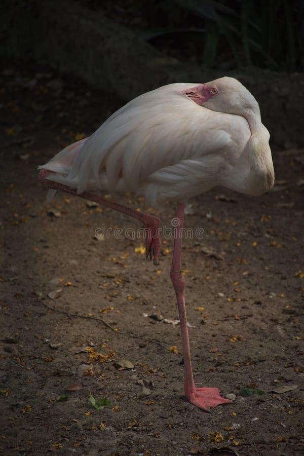 Biały egret ptaka odpoczynek w pozycji na jeden nogi akcji obrazy royalty free