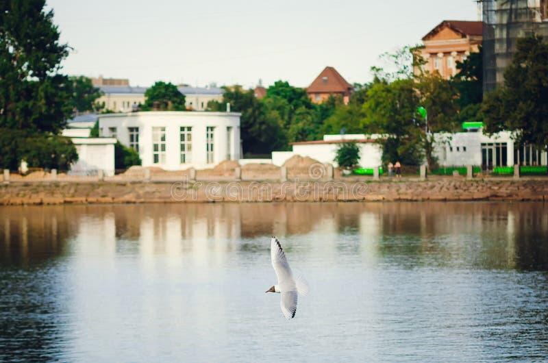 Biały frajer lata nad miasta jeziorem Piękny natura park, lata tło obraz royalty free