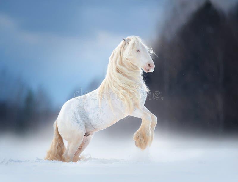 Biały irlandzki cob z długim grzywa wychowem w śnieżnej łące zdjęcie stock