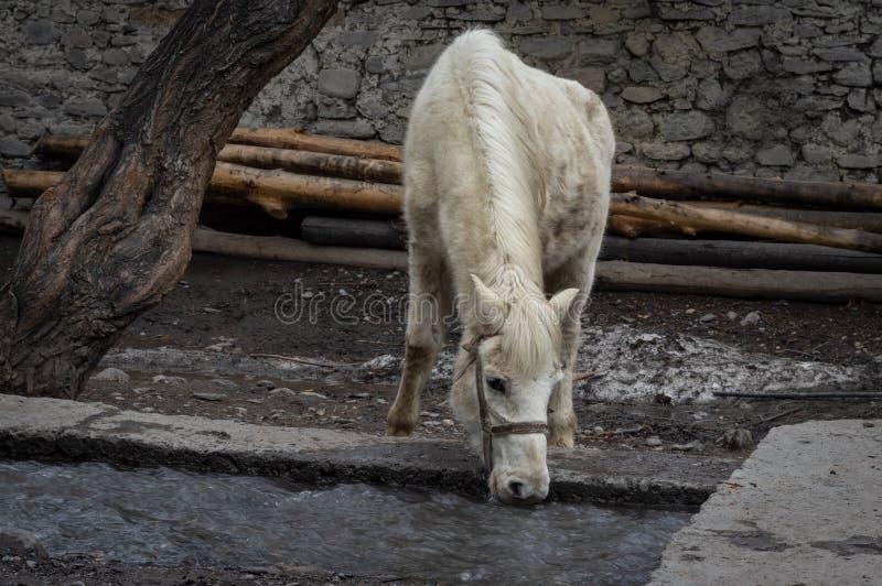 Biały koń Pije od strumienia obraz stock