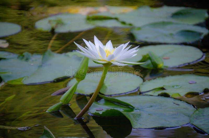 Biały lotosowy kwiat fotografia royalty free