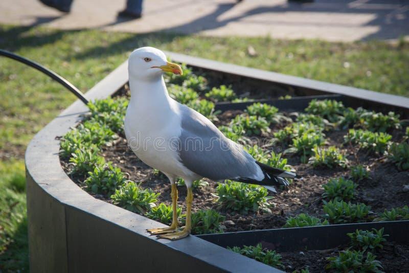Biały seagull siedzi w miasto ogródzie, ptasi obsiadanie w kwiatu stojaku, ptasi portret, miastowy środowisko fotografia royalty free