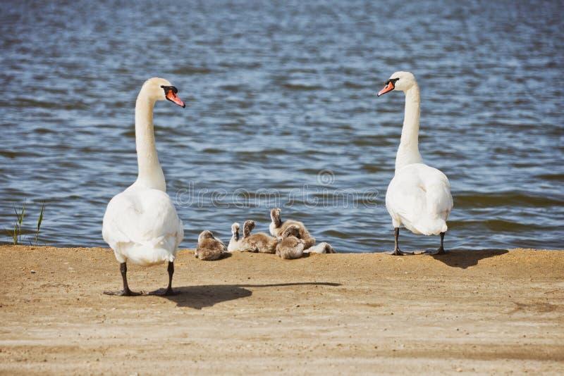 Biała Łabędzia para z gniazdownikami fotografia royalty free
