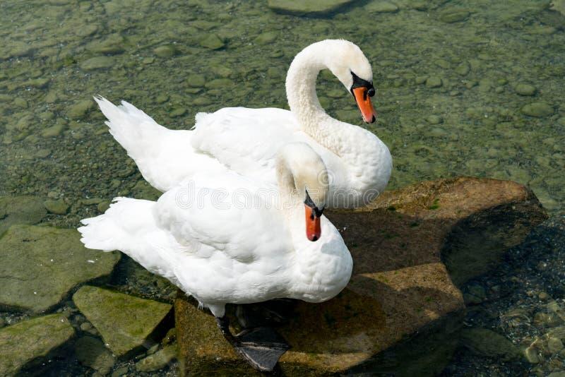 Biała łabędzia para z pomarańcze wystawia rachunek relaksować na brzeg jezioro obraz stock