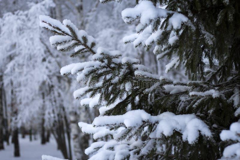 Biała śnieżysta świerkowa łapa w miasto parku zdjęcia royalty free