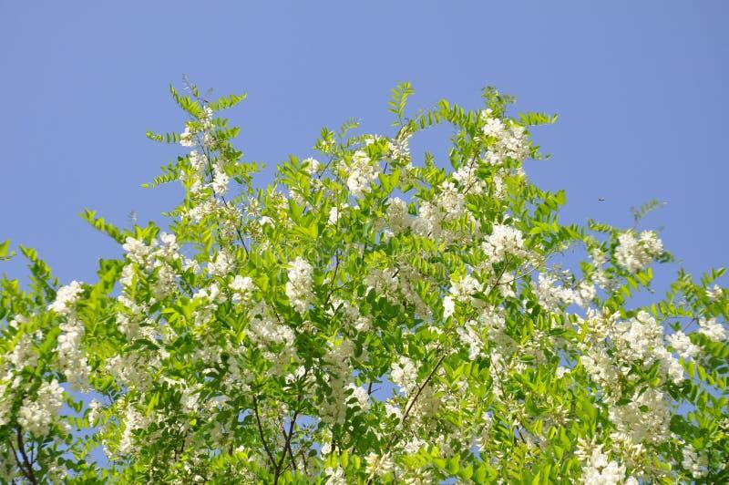Biała akacja kwitnie, akacja kwiaty w wiośnie, niebieskie niebo w tle zdjęcie stock