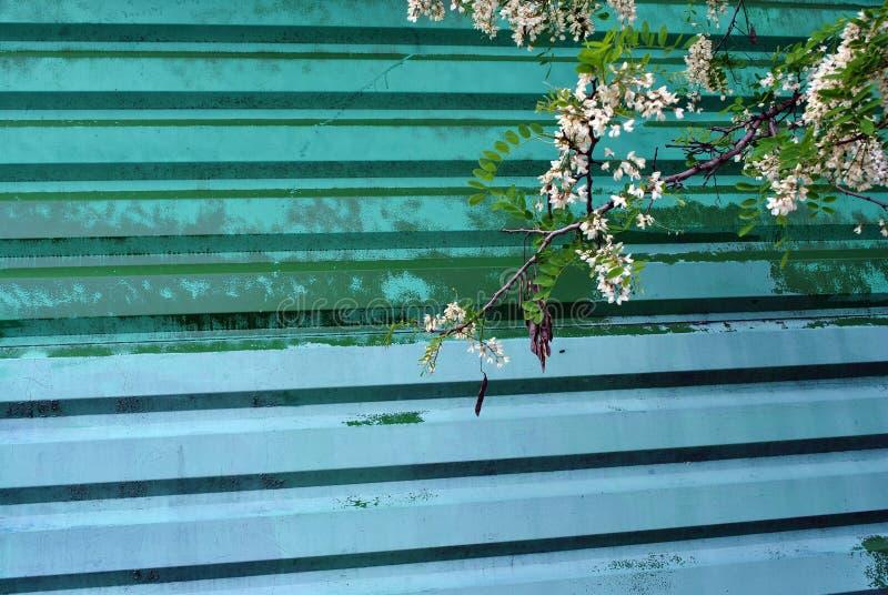 Biała akacjowa kwitnienie gałąź na starej zieleni żelaza zieleni podławym malującym panwiowym ogrodzeniu zdjęcia stock