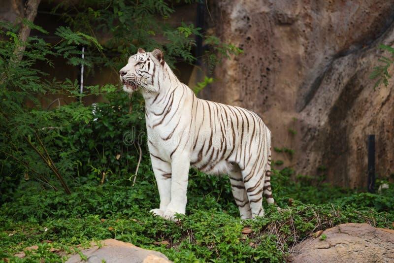 Biała azjata Bengal tygrysa pozycja obraz stock