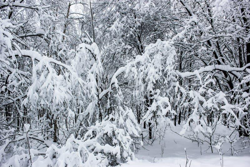 Biała bajka 7 - zima lasu śnieg i krajobraz - obraz royalty free