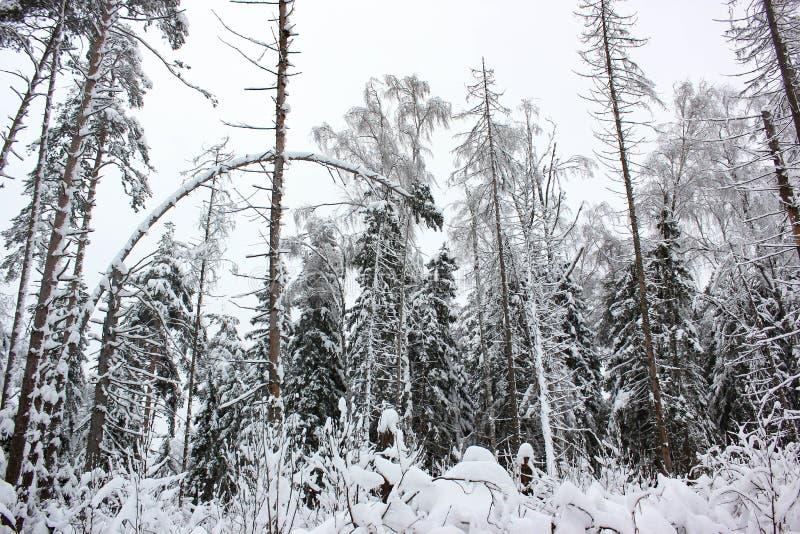 Biała bajka 8 - zima lasu śnieg i krajobraz - obrazy royalty free