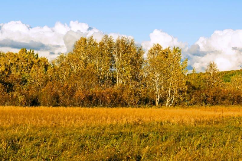 Biała brzoza i obszar trawiasty fotografia royalty free