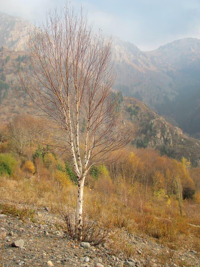 Biała brzoza na halnym skłonie w jesieni obrazy stock