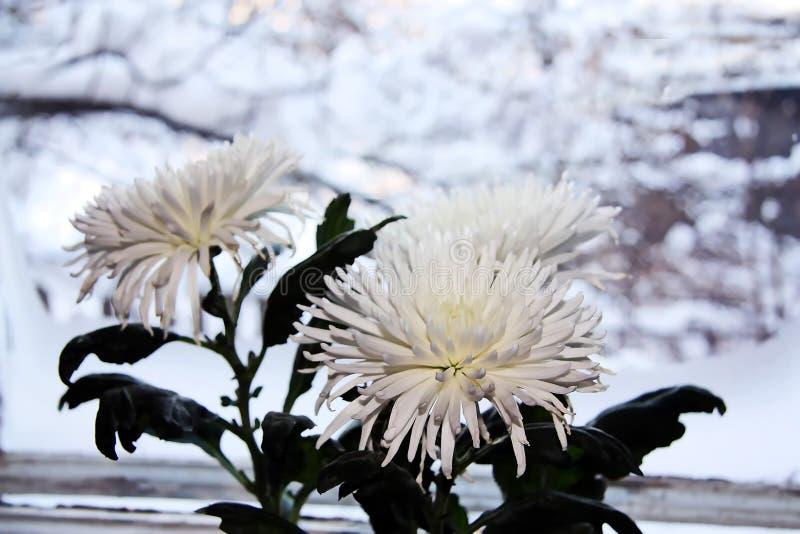Biała chryzantema na tle zamarznięty okno zdjęcie royalty free