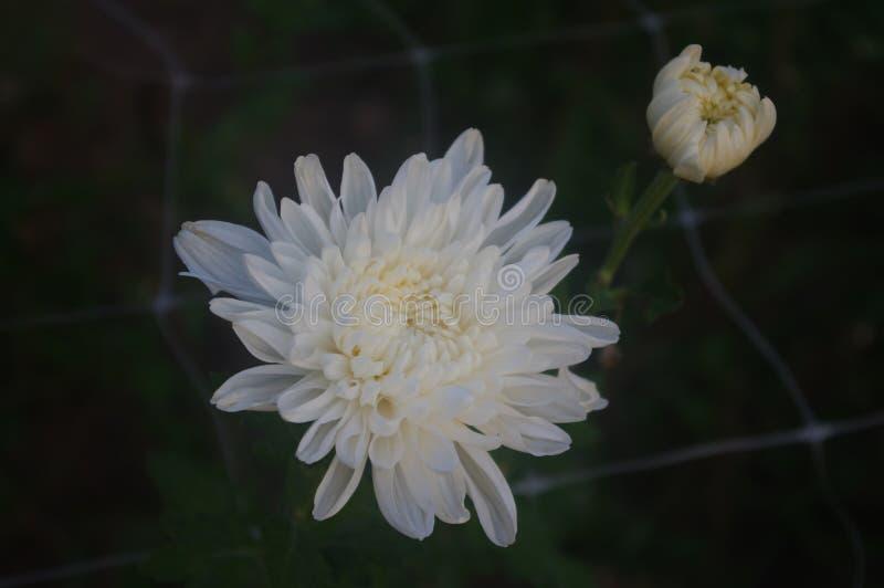 Biała chryzantema wchodzić do pełnego kwiatu okres obraz royalty free