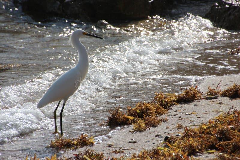 Biała czapla na Floryda plaży zdjęcie stock