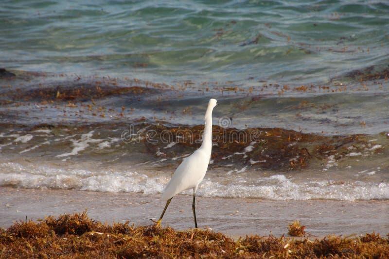 Biała czapla na Floryda plaży fotografia royalty free