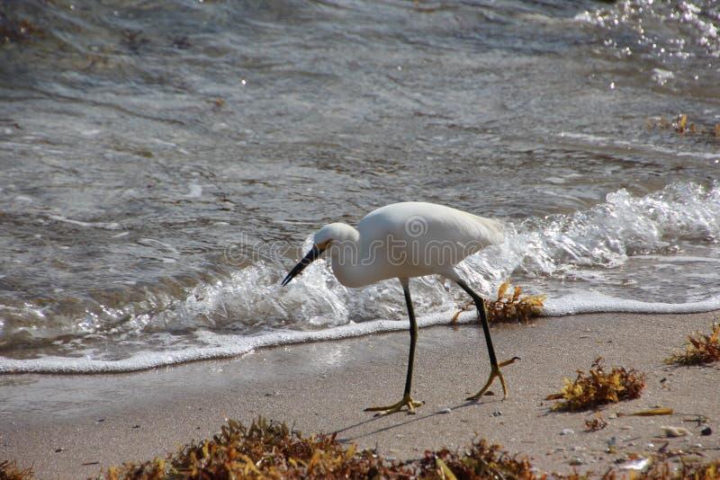 Biała czapla na Floryda plaży obraz stock