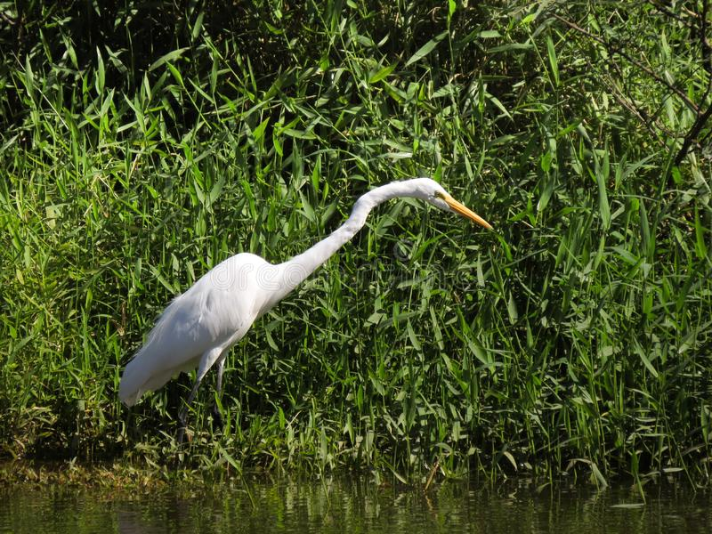 Biała czapla w mangrowe zdjęcia royalty free