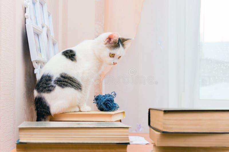Biała figlarka siedzi na książce i spojrzenia przy inny rezerwują Czytelnik w bibliotece wśród books_ zdjęcie royalty free