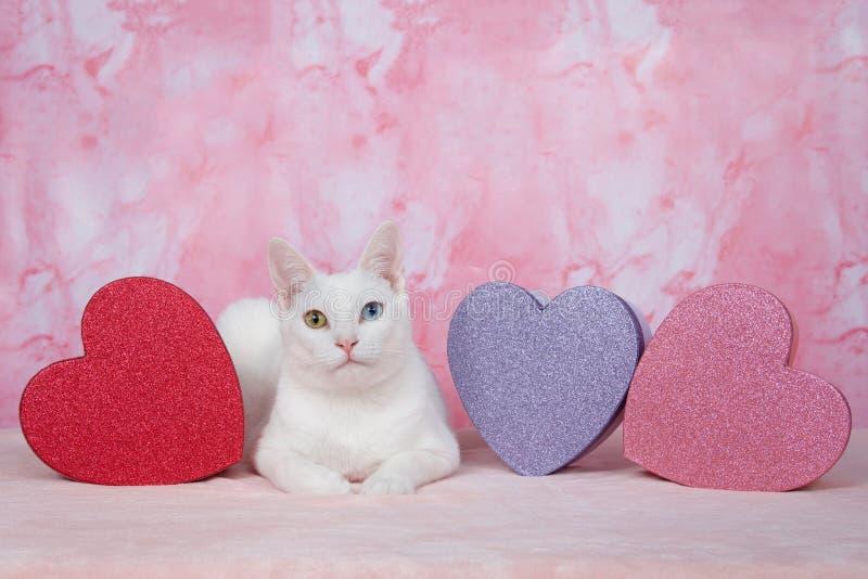 Biała figlarka z heterochromia z valentine ` s tematu ` d boksuje fotografia royalty free