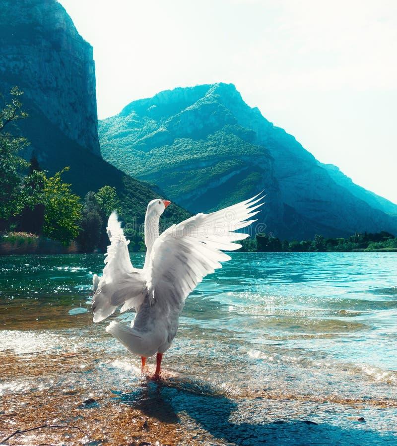 Biała gąska na rzecznym jeziorze obraz royalty free