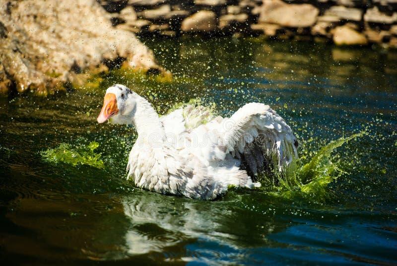 Biała gęś domowa unosząca się na wodzie, wznosząca dużo rozlewu obrazy royalty free