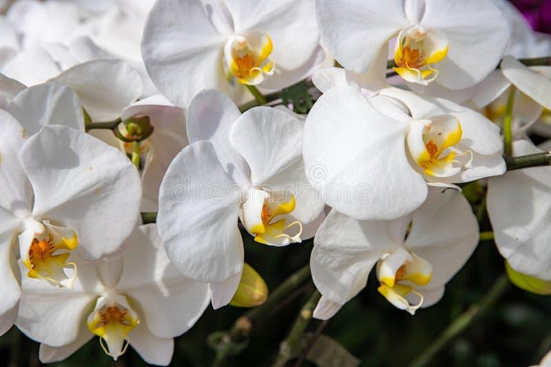 Biała gałąź orchidei, zdjęcie z ogrodu botanicznego Zamknięcie zdjęć w ogródku botanicznym zdjęcie stock