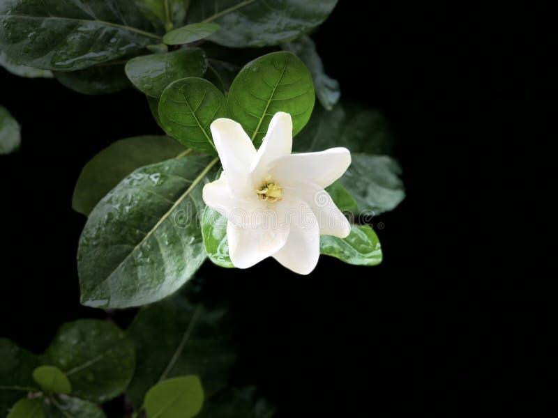 Biała gardenia na gałęziastym drzewie fotografia stock