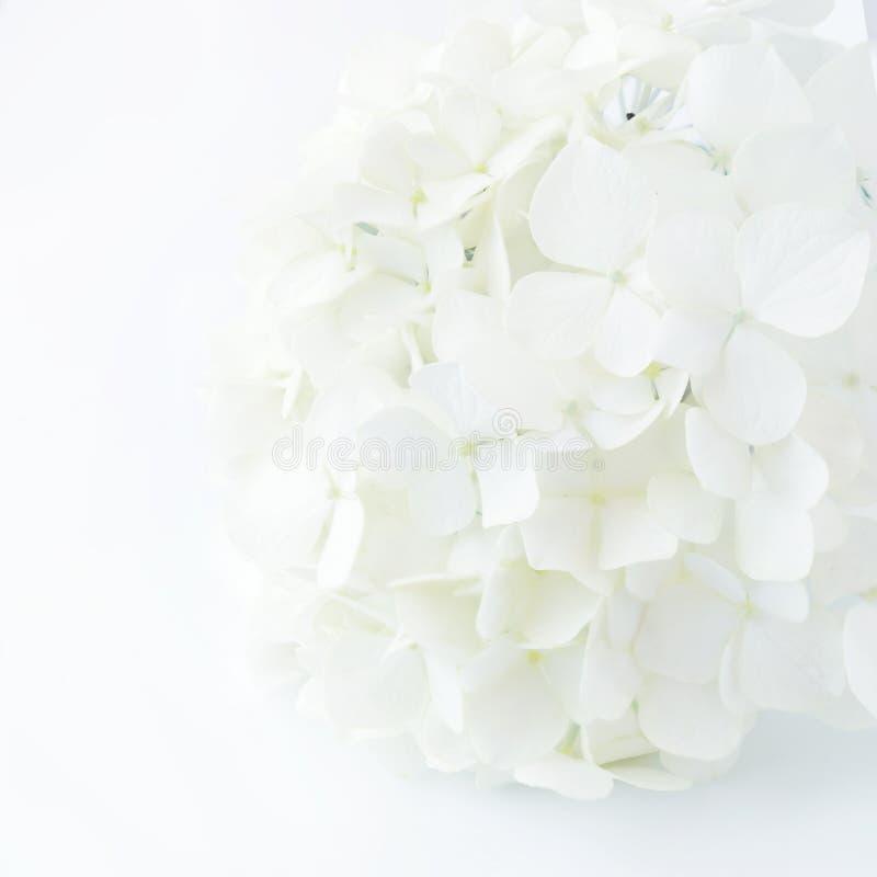 Biała hortensja obrazy royalty free