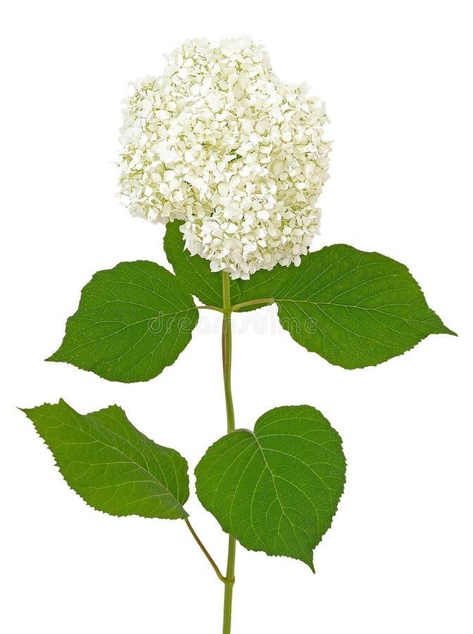 Biała hortensja zdjęcia royalty free