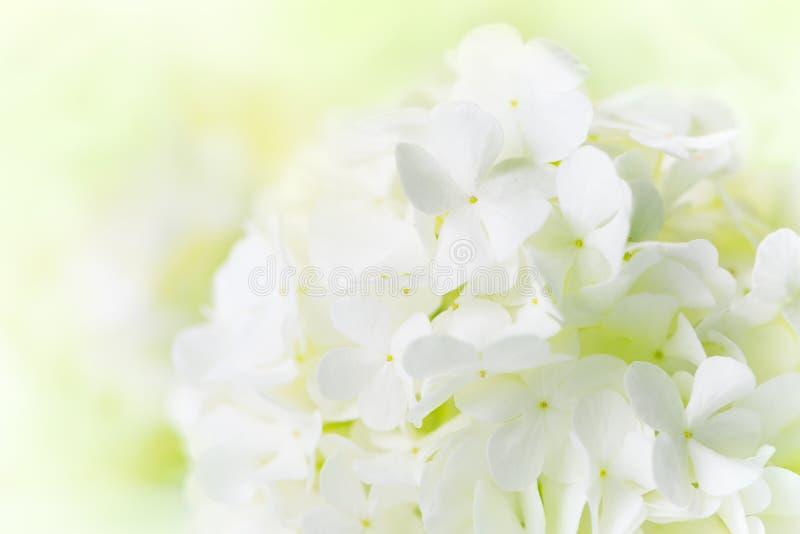 Biała hortensja zdjęcia stock