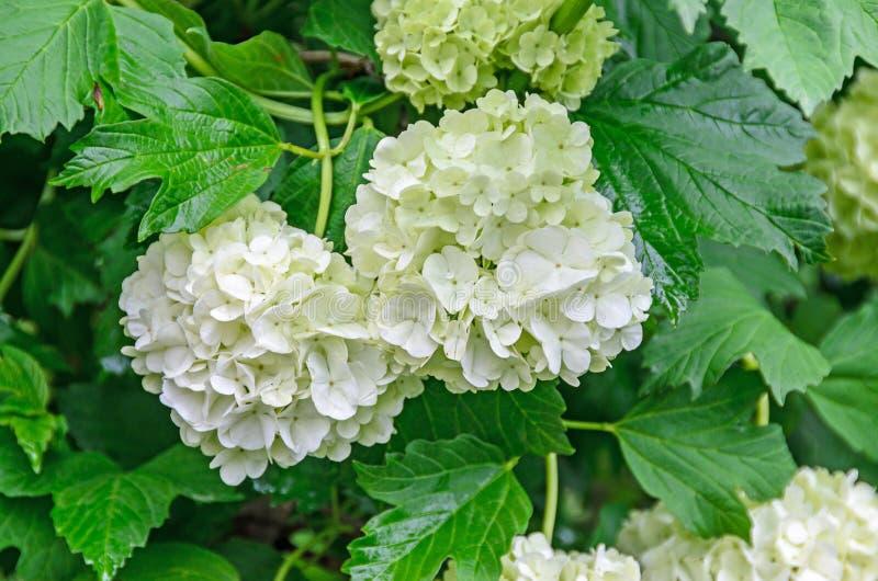 Biała hortensja kwitnie, hortensia zielony krzak, zakończenie w górę plenerowego obraz stock