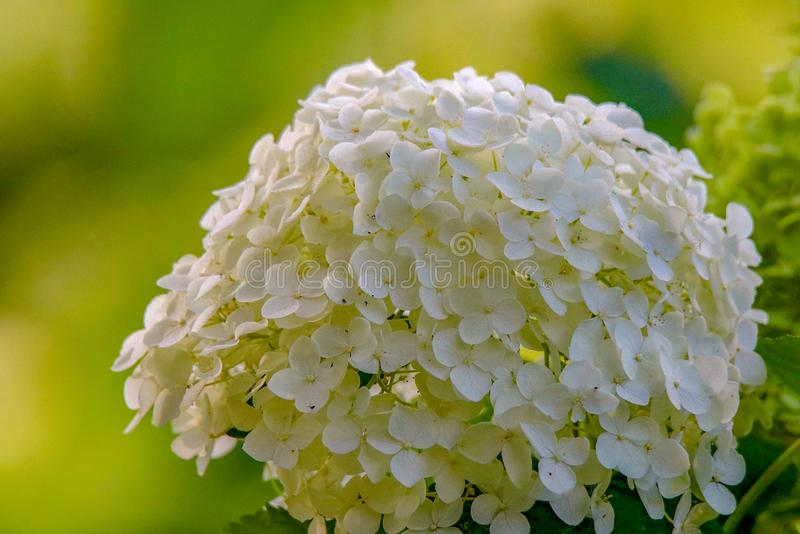 Biała hortensja Kwitnie w Popołudniowym świetle słonecznym w Minnestoa fotografia stock