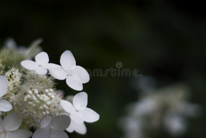 Biała hortensja Kwitnie z Ciemnym tłem obraz stock